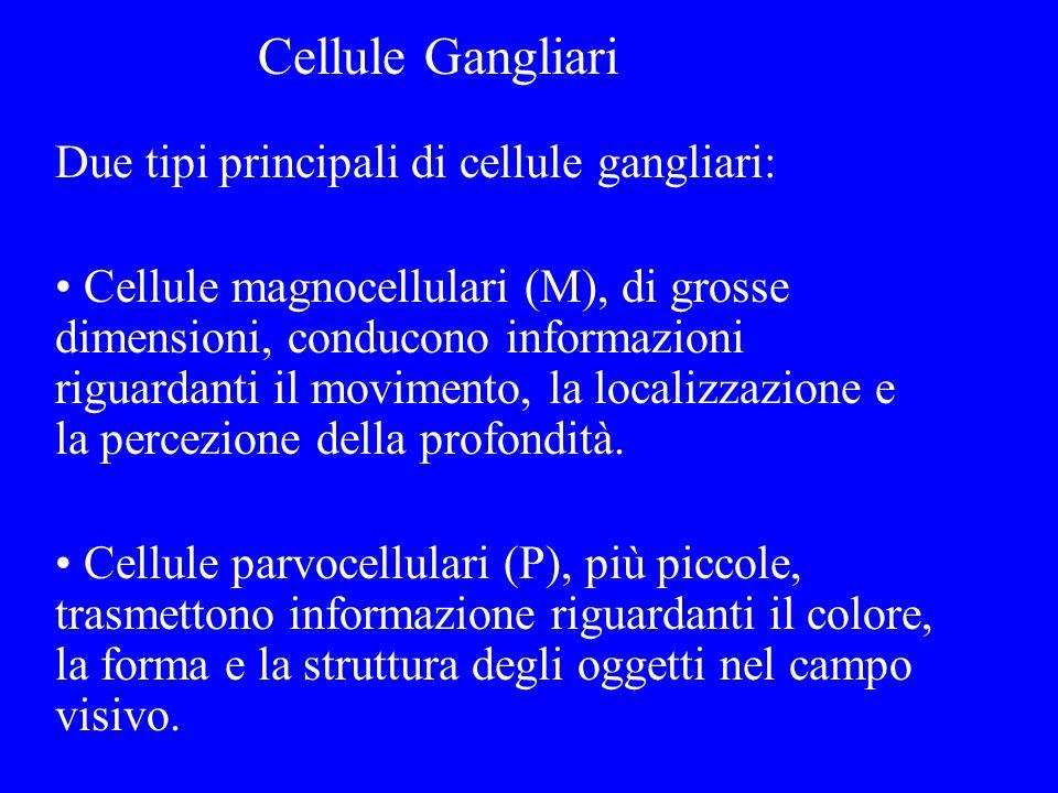 Due tipi principali di cellule gangliari: Cellule magnocellulari (M), di grosse dimensioni, conducono informazioni riguardanti il movimento, la locali