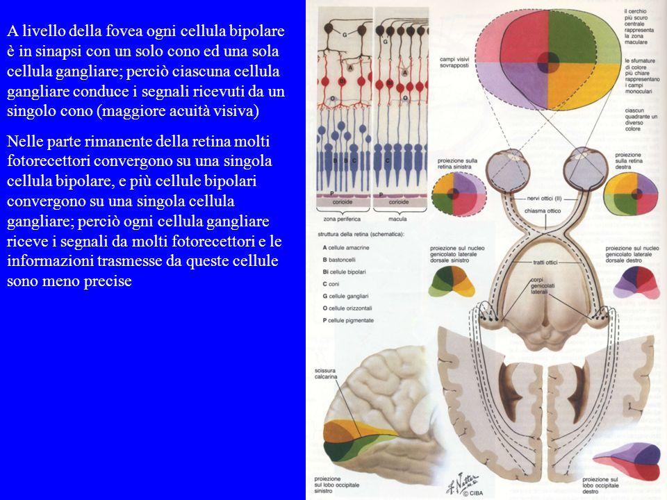 A livello della fovea ogni cellula bipolare è in sinapsi con un solo cono ed una sola cellula gangliare; perciò ciascuna cellula gangliare conduce i s
