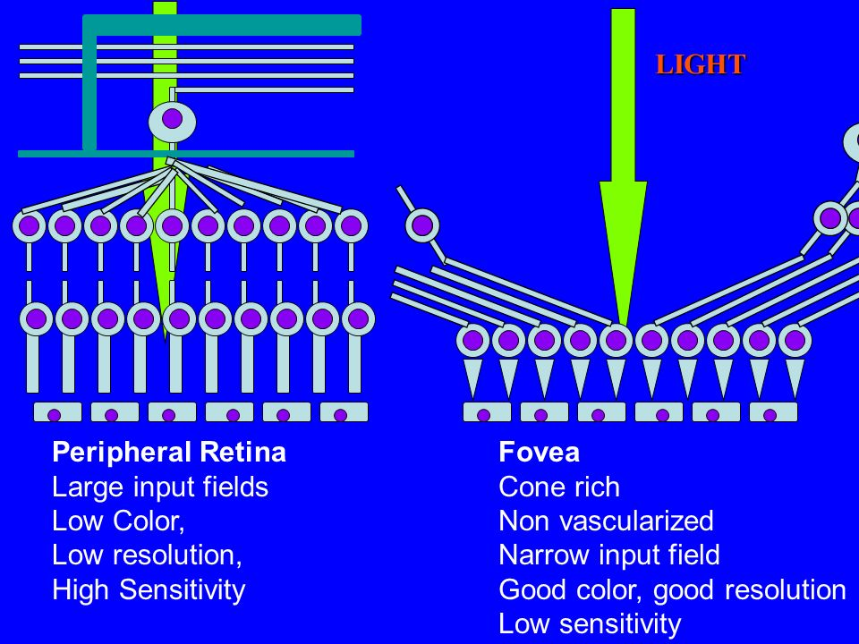 LIGHT Peripheral Retina Large input fields Low Color, Low resolution, High Sensitivity Fovea Cone rich Non vascularized Narrow input field Good color,
