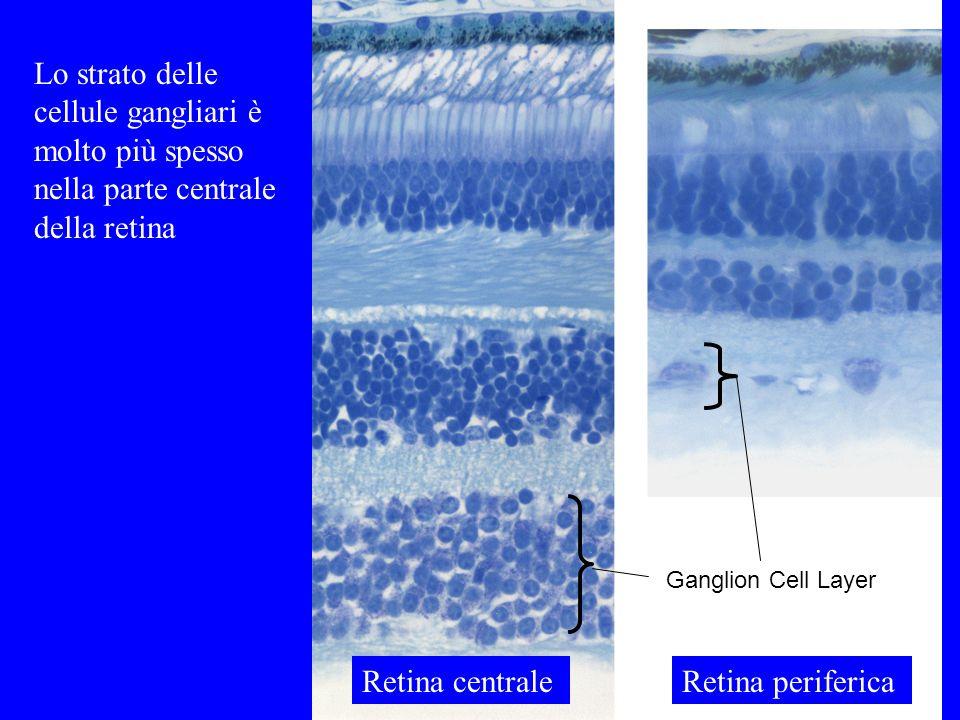 Ganglion Cell Layer Lo strato delle cellule gangliari è molto più spesso nella parte centrale della retina Retina centraleRetina periferica