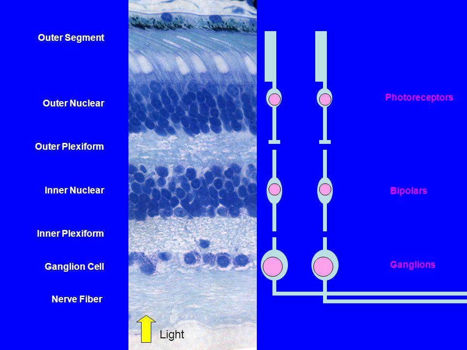 Outer Segment Outer Nuclear Outer Plexiform Inner Nuclear Inner Plexiform Ganglion Cell Nerve Fiber Photoreceptors Bipolars Ganglions Light