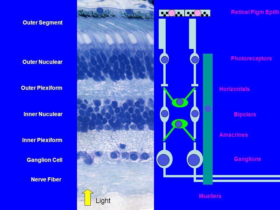 Outer Segment Outer Nuculear Outer Plexiform Inner Nuculear Inner Plexiform Ganglion Cell Nerve Fiber Photoreceptors Bipolars Ganglions Light Retinal