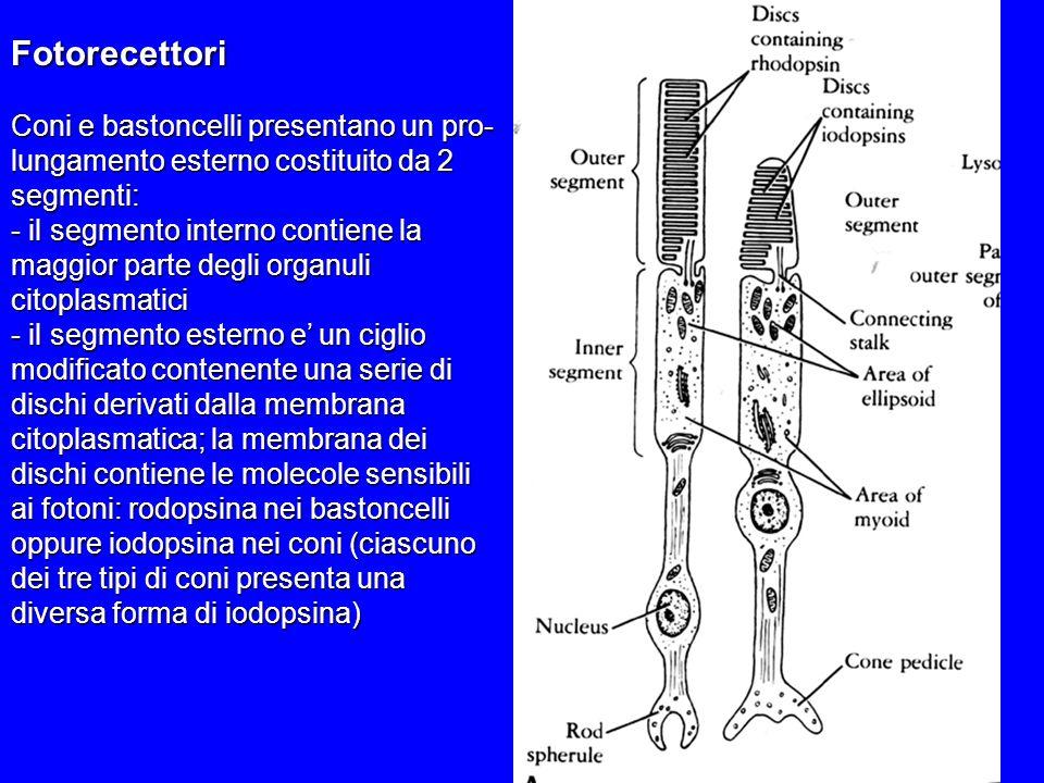 Fotorecettori Coni e bastoncelli presentano un pro- lungamento esterno costituito da 2 segmenti: - il segmento interno contiene la maggior parte degli