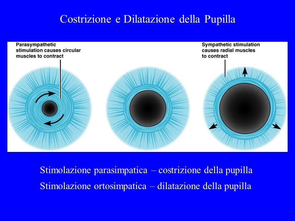 Costrizione e Dilatazione della Pupilla Stimolazione parasimpatica – costrizione della pupilla Stimolazione ortosimpatica – dilatazione della pupilla