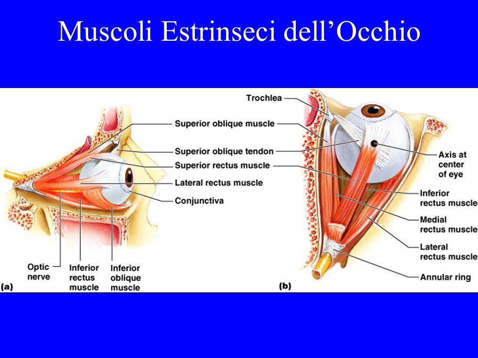Muscoli Estrinseci dellOcchio