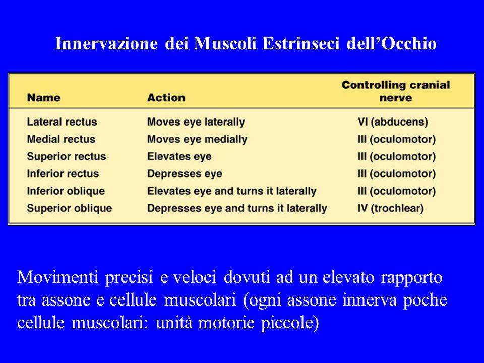 Innervazione dei Muscoli Estrinseci dellOcchio Movimenti precisi e veloci dovuti ad un elevato rapporto tra assone e cellule muscolari (ogni assone in