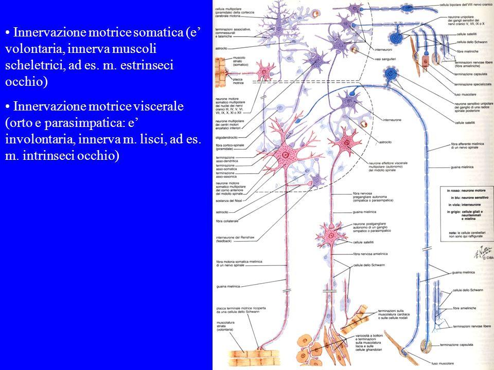 Innervazione motrice somatica (e volontaria, innerva muscoli scheletrici, ad es. m. estrinseci occhio) Innervazione motrice viscerale (orto e parasimp