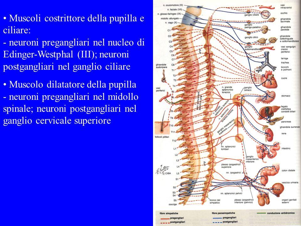 Muscoli costrittore della pupilla e ciliare: - neuroni pregangliari nel nucleo di Edinger-Westphal (III); neuroni postgangliari nel ganglio ciliare Mu
