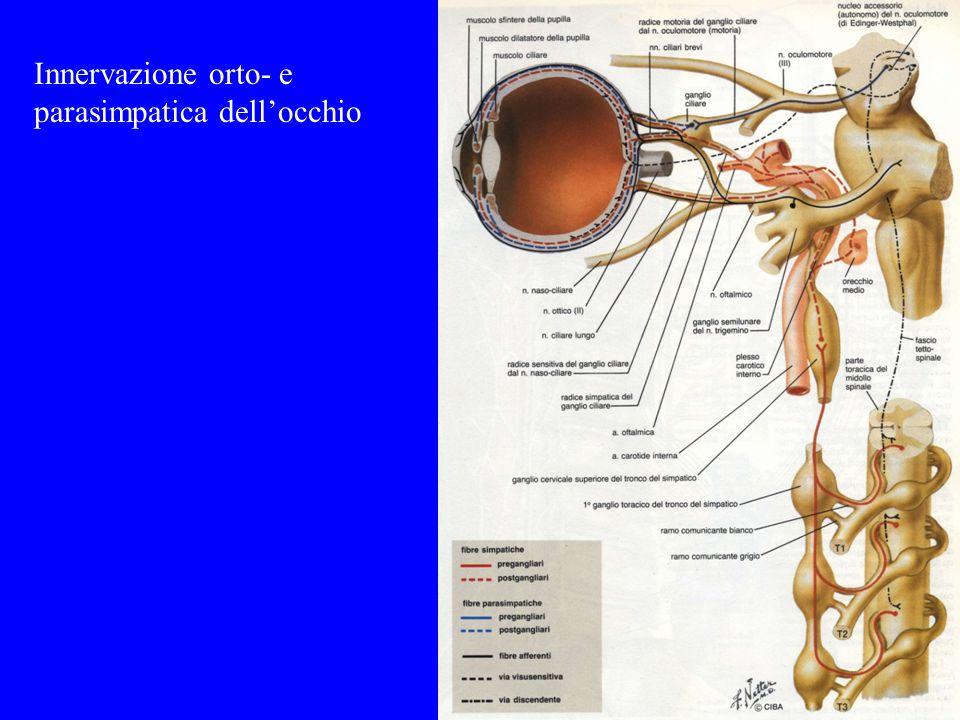 Innervazione orto- e parasimpatica dellocchio