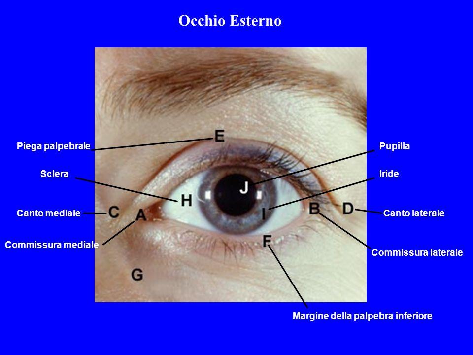 Commissura mediale Commissura laterale Canto medialeCanto laterale Piega palpebrale Margine della palpebra inferiore ScleraIride Pupilla Occhio Estern