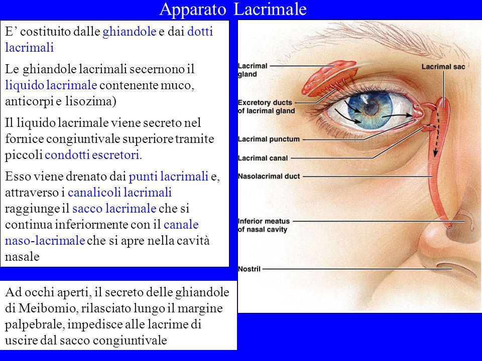Apparato Lacrimale E costituito dalle ghiandole e dai dotti lacrimali Le ghiandole lacrimali secernono il liquido lacrimale contenente muco, anticorpi