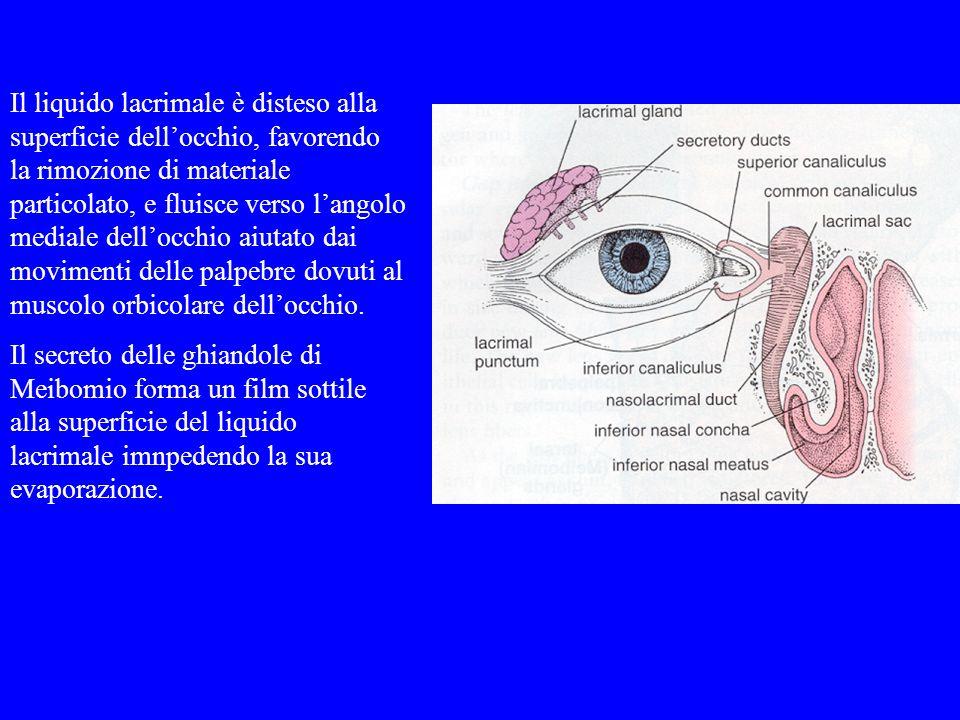 Il liquido lacrimale è disteso alla superficie dellocchio, favorendo la rimozione di materiale particolato, e fluisce verso langolo mediale dellocchio