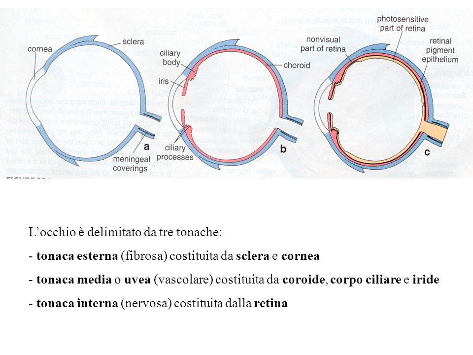 Locchio è delimitato da tre tonache: - tonaca esterna (fibrosa) costituita da sclera e cornea - tonaca media o uvea (vascolare) costituita da coroide,