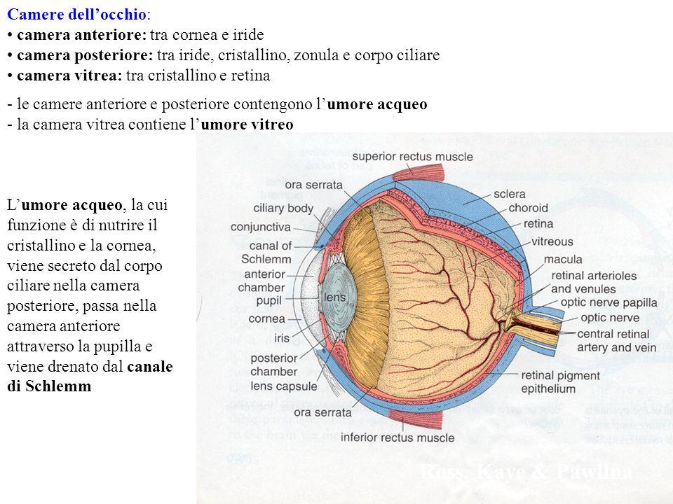EYE Camere dellocchio: camera anteriore: tra cornea e iride camera posteriore: tra iride, cristallino, zonula e corpo ciliare camera vitrea: tra crist