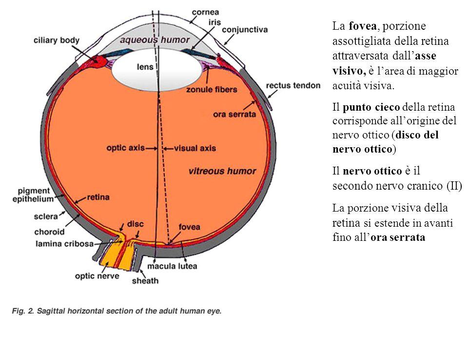 La fovea, porzione assottigliata della retina attraversata dallasse visivo, è larea di maggior acuit à visiva. Il punto cieco della retina corrisponde