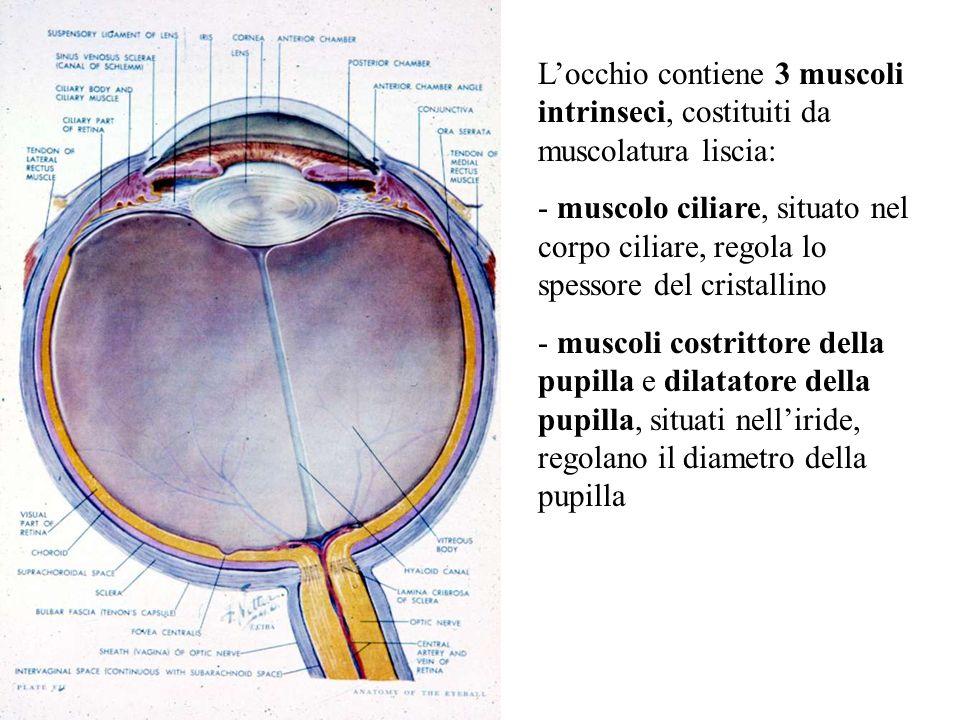 Locchio contiene 3 muscoli intrinseci, costituiti da muscolatura liscia: - muscolo ciliare, situato nel corpo ciliare, regola lo spessore del cristall