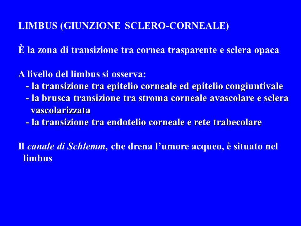 LIMBUS (GIUNZIONE SCLERO-CORNEALE) È la zona di transizione tra cornea trasparente e sclera opaca A livello del limbus si osserva: - la transizione tr