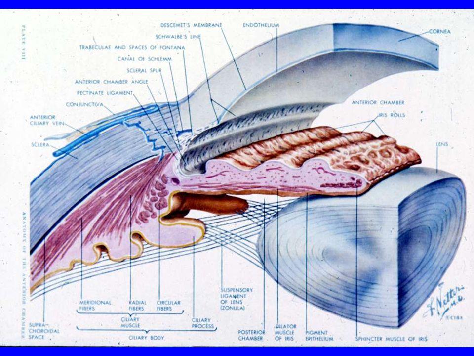 Cross-section of the eye Choroid Sclera Eyelid