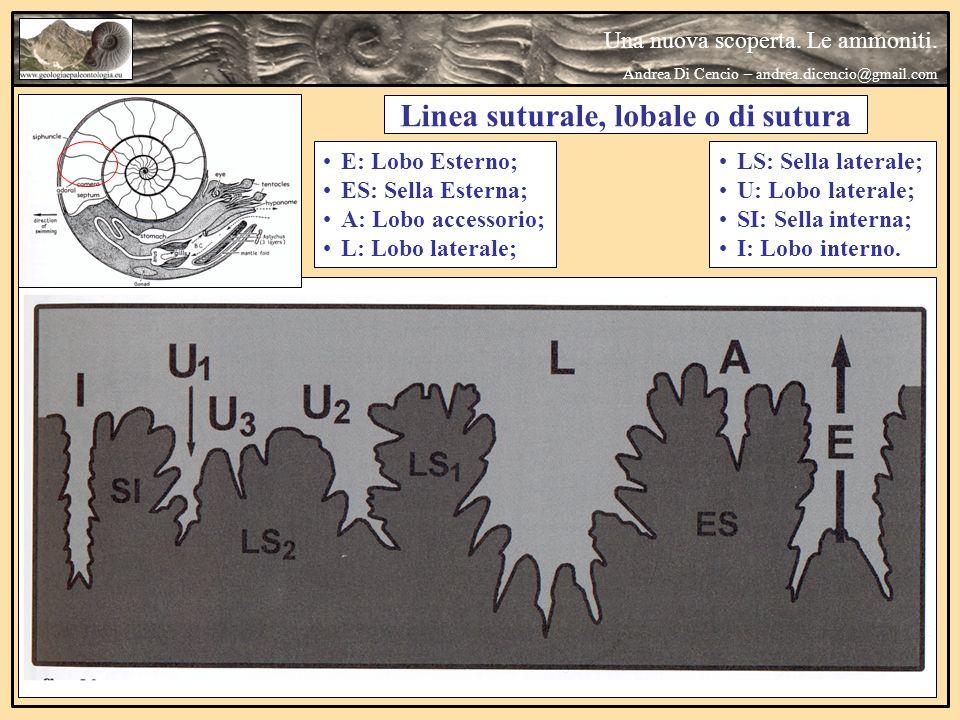 Una nuova scoperta. Le ammoniti. Andrea Di Cencio – andrea.dicencio@gmail.com Linea suturale
