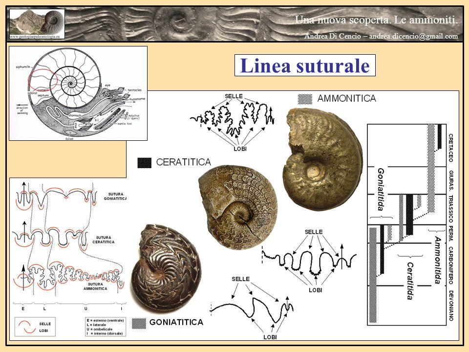 Sutura di tipo Clymenitico Una nuova scoperta.Le ammoniti.