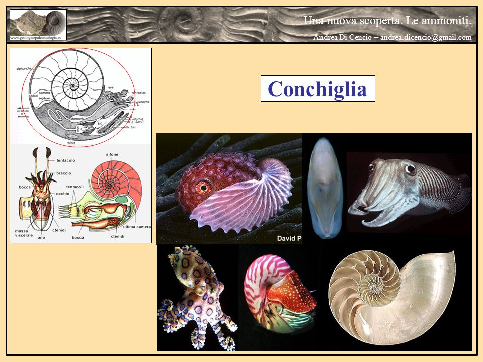 Conchiglia Una nuova scoperta. Le ammoniti. Andrea Di Cencio – andrea.dicencio@gmail.com