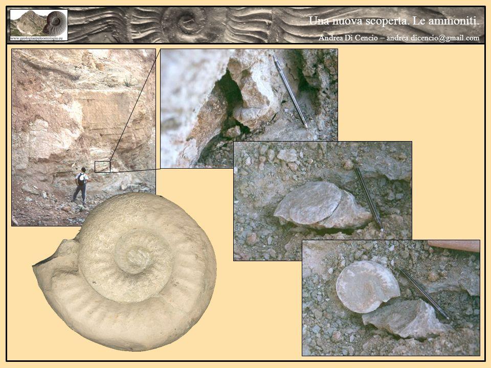 Una nuova scoperta. Le ammoniti. Andrea Di Cencio – andrea.dicencio@gmail.com
