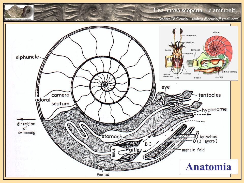 Anatomia Una nuova scoperta. Le ammoniti. Andrea Di Cencio – andrea.dicencio@gmail.com