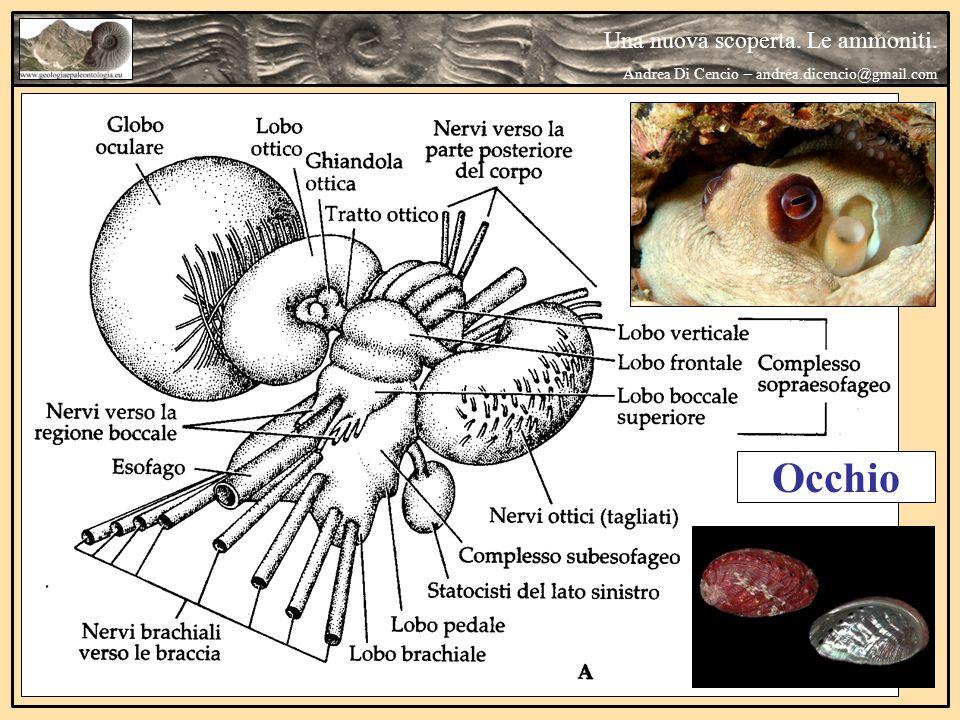 Occhio Una nuova scoperta. Le ammoniti. Andrea Di Cencio – andrea.dicencio@gmail.com