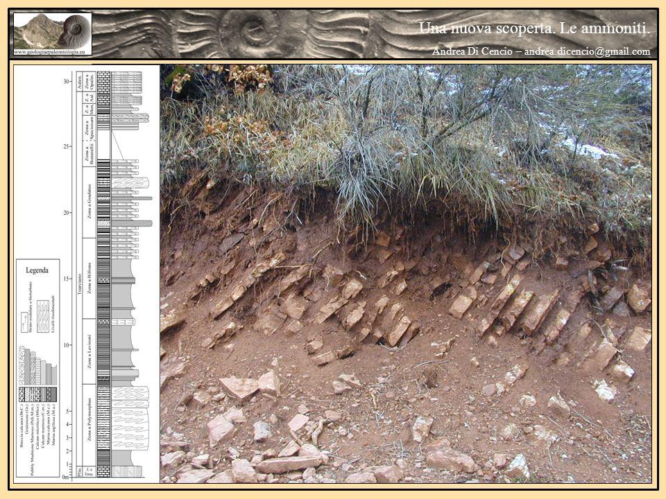 Una nuova scoperta.Le ammoniti. Andrea Di Cencio – andrea.dicencio@gmail.com Canavaria sp.