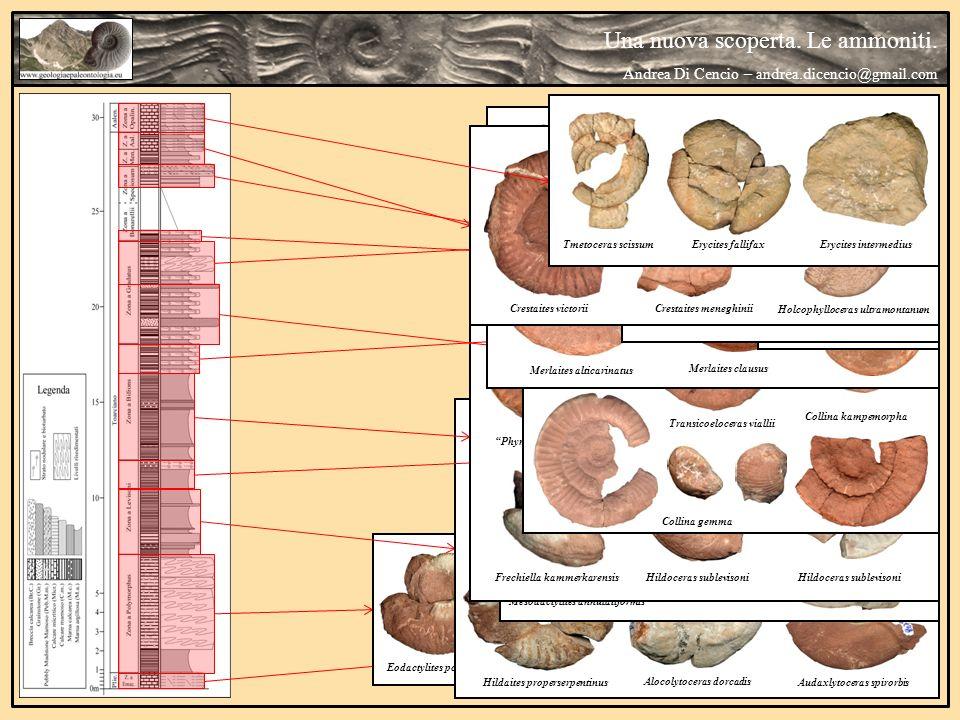 Una nuova scoperta. Le ammoniti. Andrea Di Cencio – andrea.dicencio@gmail.com Canavaria sp. Eodactylites polymorphus Orthodactylites semicelatus Hilda