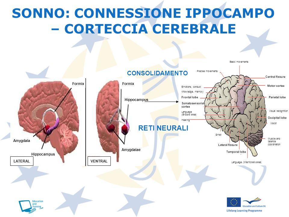 SONNO: CONNESSIONE IPPOCAMPO – CORTECCIA CEREBRALE CONSOLIDAMENTO RETI NEURALI Central fissure Motor cortex Parietal lobe Occipital lobe Frontal lobe