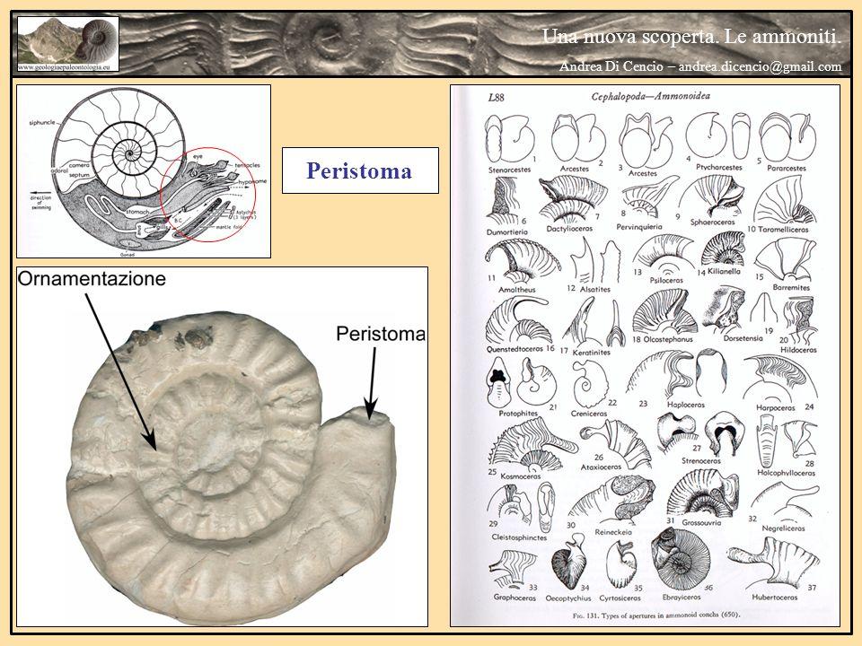 Peristoma Una nuova scoperta. Le ammoniti. Andrea Di Cencio – andrea.dicencio@gmail.com