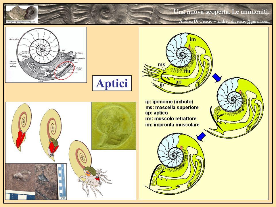 Aptici Una nuova scoperta. Le ammoniti. Andrea Di Cencio – andrea.dicencio@gmail.com