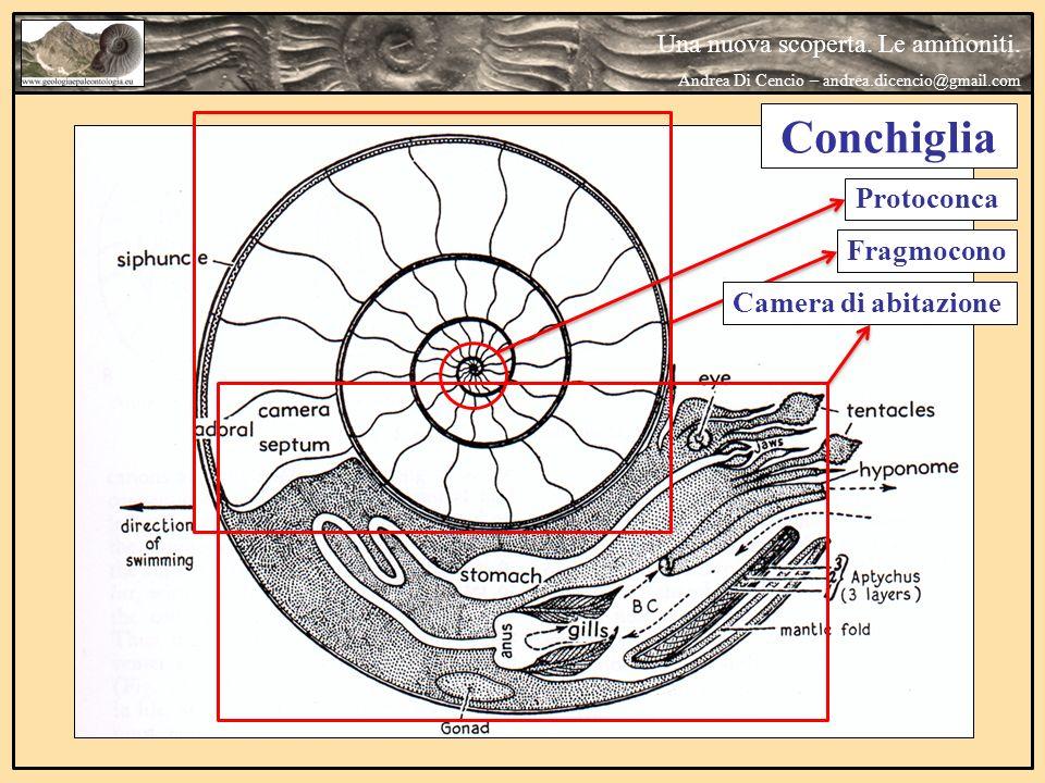 Una nuova scoperta. Le ammoniti. Andrea Di Cencio – andrea.dicencio@gmail.com Conchiglia Fragmocono Camera di abitazioneProtoconca