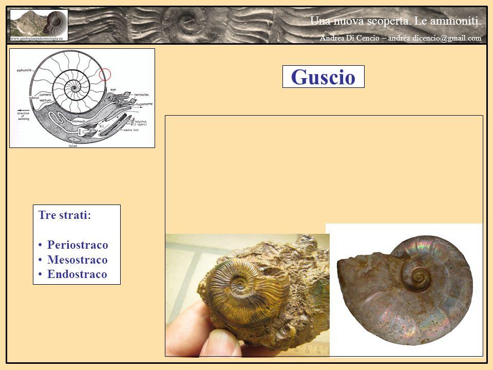 Una nuova scoperta. Le ammoniti. Andrea Di Cencio – andrea.dicencio@gmail.com Guscio Tre strati: Periostraco Mesostraco Endostraco