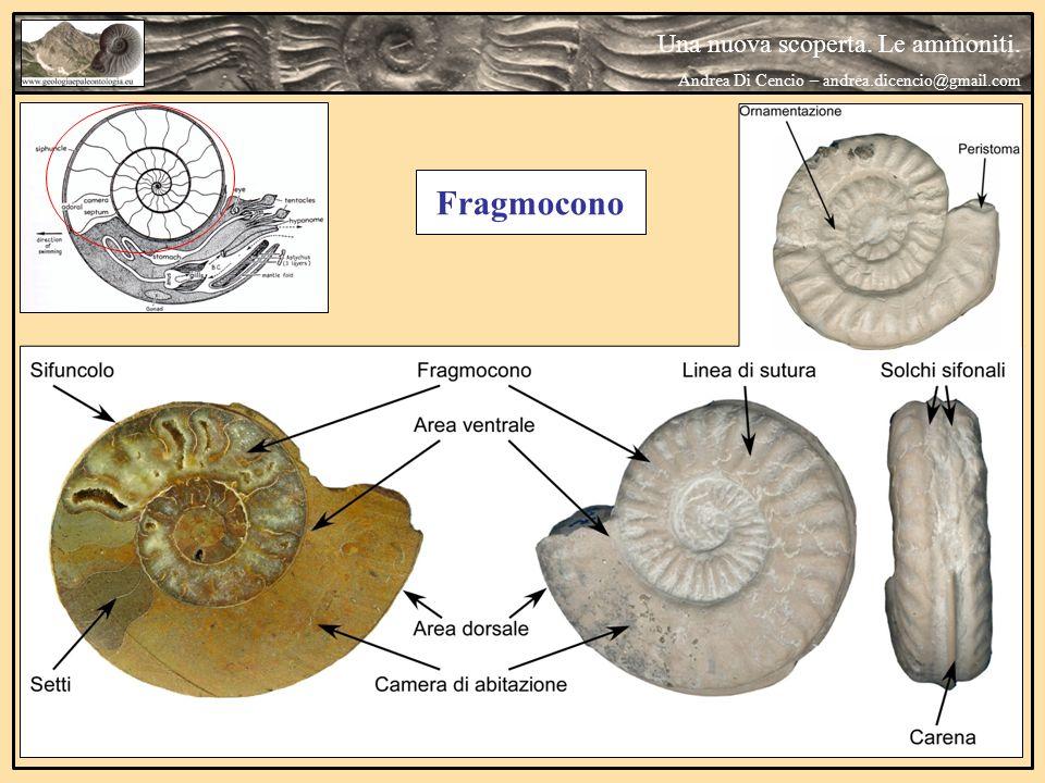 Una nuova scoperta. Le ammoniti. Andrea Di Cencio – andrea.dicencio@gmail.com Fragmocono