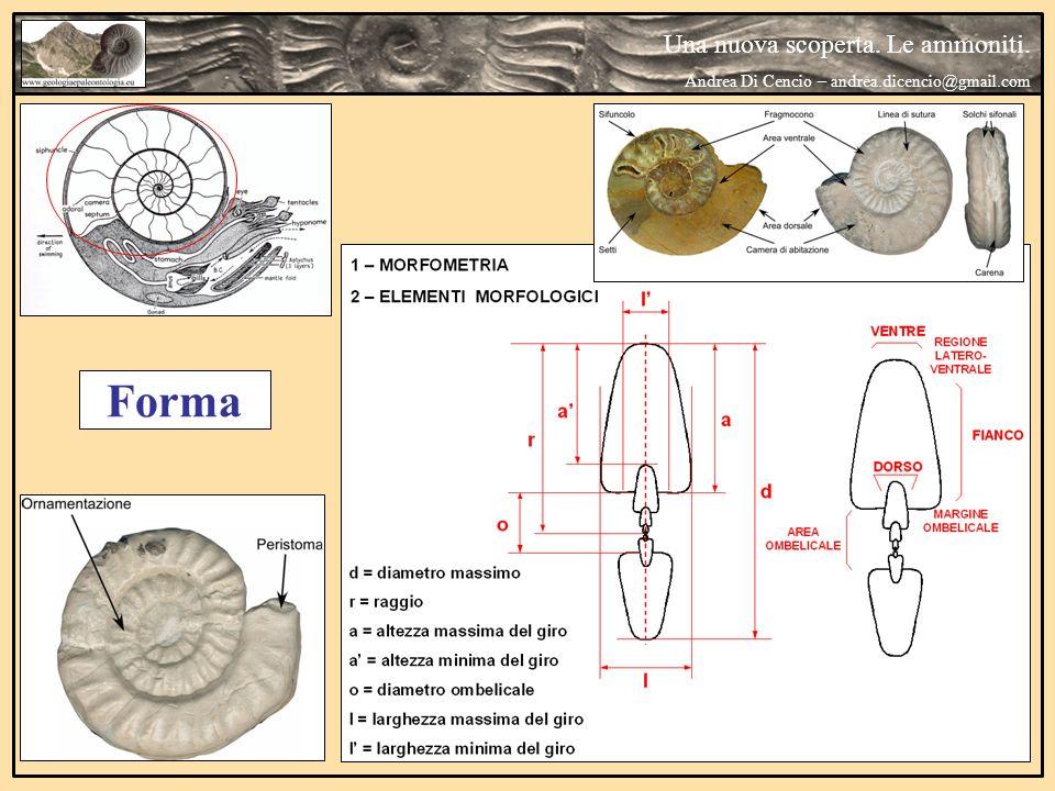 Una nuova scoperta. Le ammoniti. Andrea Di Cencio – andrea.dicencio@gmail.com Forma