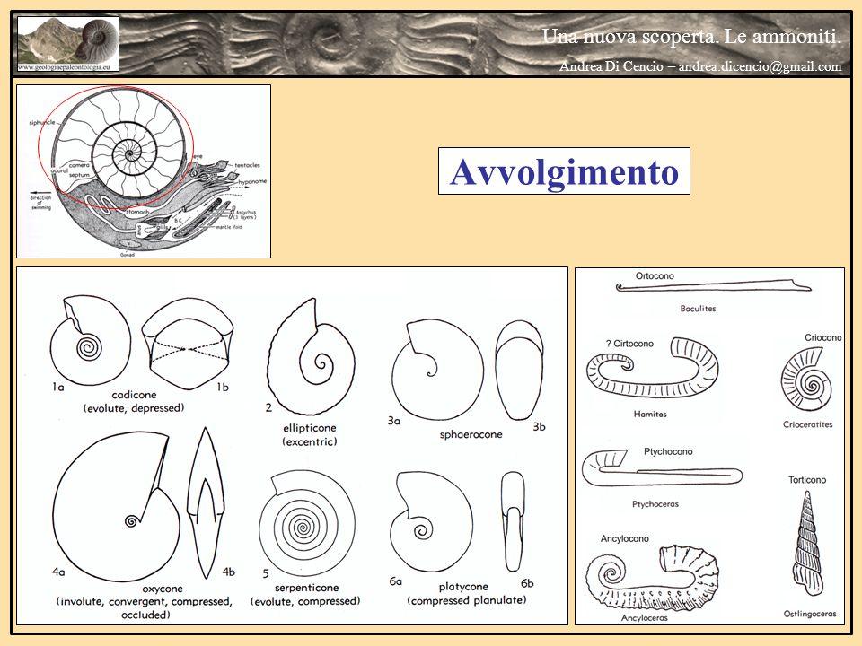 Una nuova scoperta. Le ammoniti. Andrea Di Cencio – andrea.dicencio@gmail.com Avvolgimento