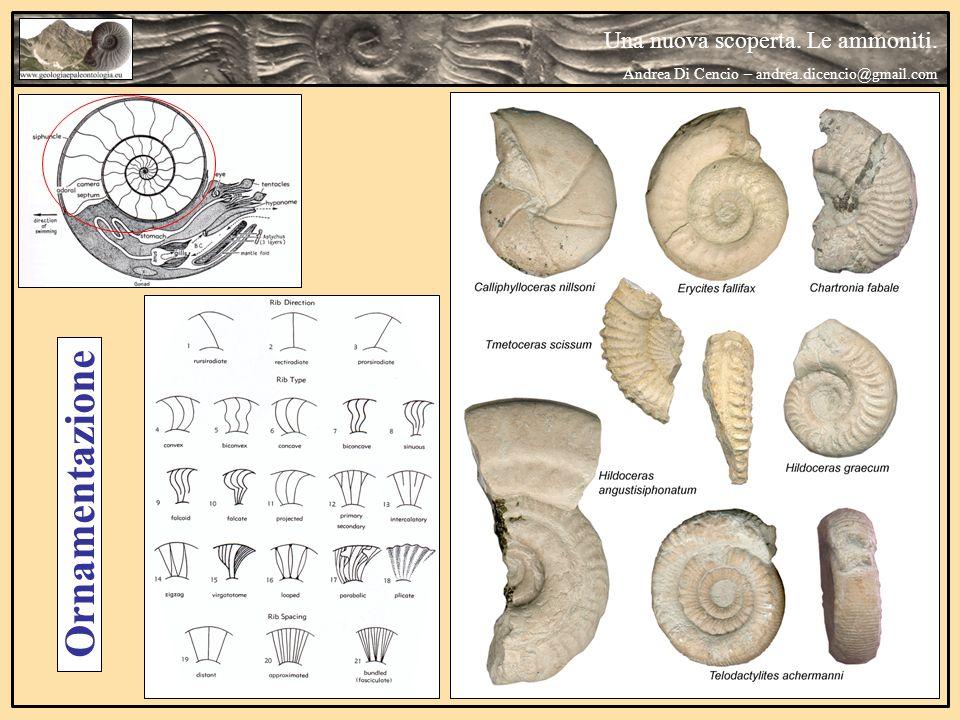 Una nuova scoperta. Le ammoniti. Andrea Di Cencio – andrea.dicencio@gmail.com Ornamentazione