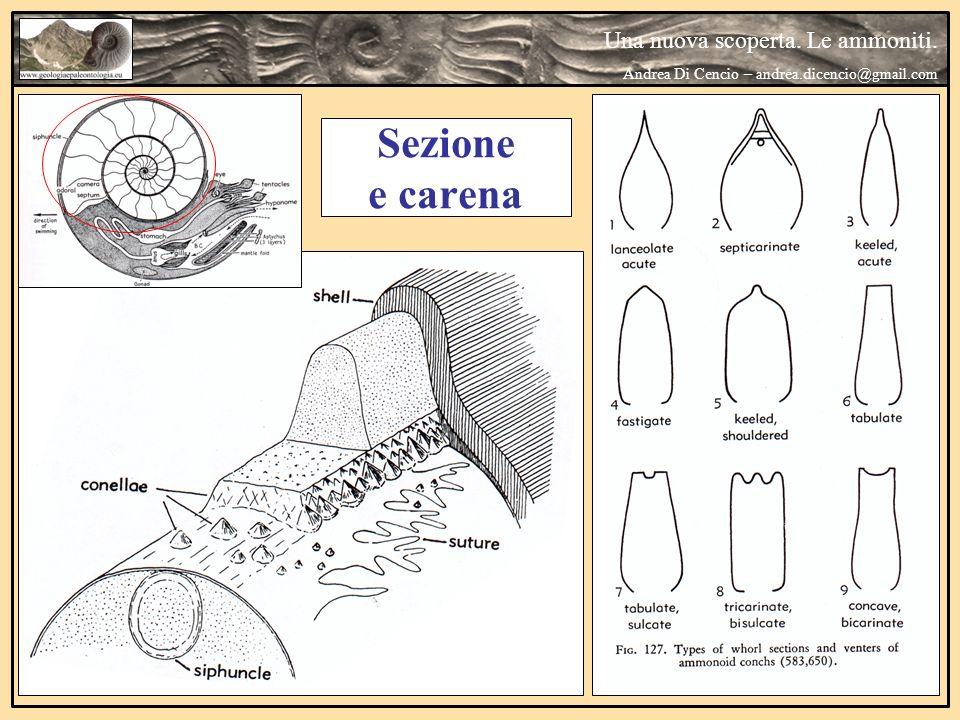 Una nuova scoperta. Le ammoniti. Andrea Di Cencio – andrea.dicencio@gmail.com Sezione e carena