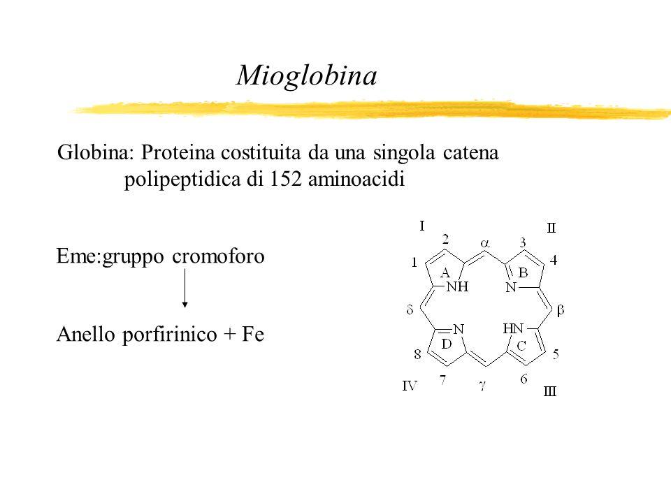 Globina: Proteina costituita da una singola catena polipeptidica di 152 aminoacidi Mioglobina Eme:gruppo cromoforo Anello porfirinico + Fe