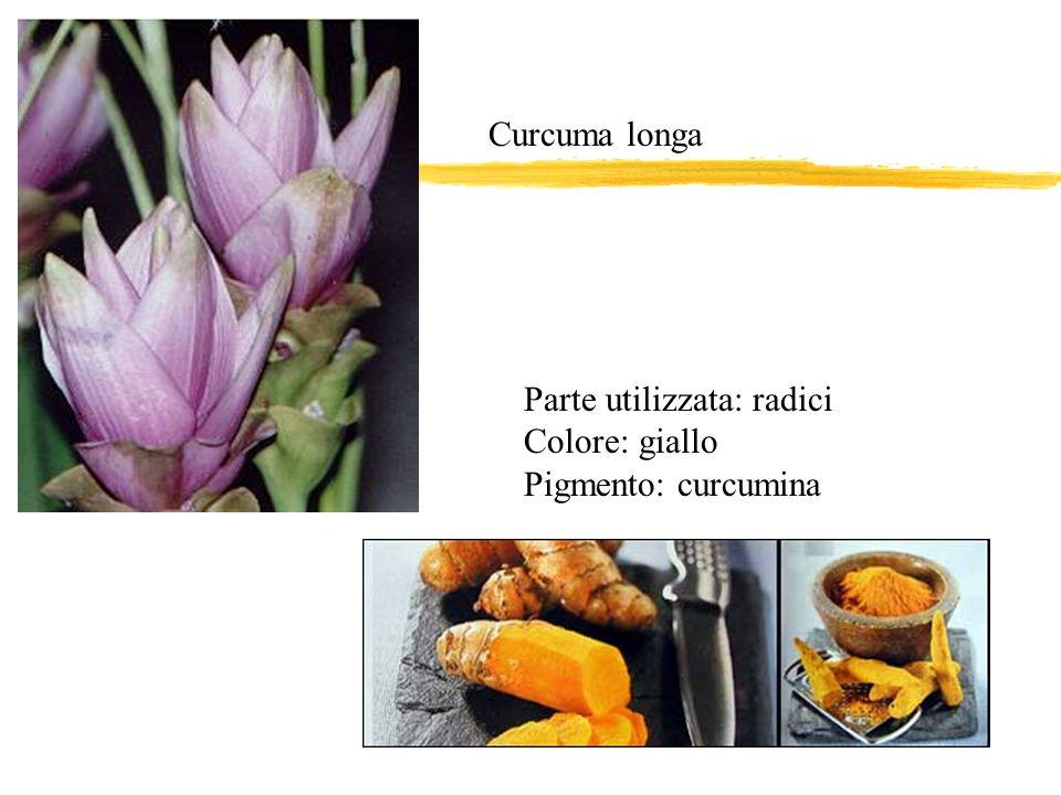 Parte utilizzata: radici Colore: giallo Pigmento: curcumina Curcuma longa
