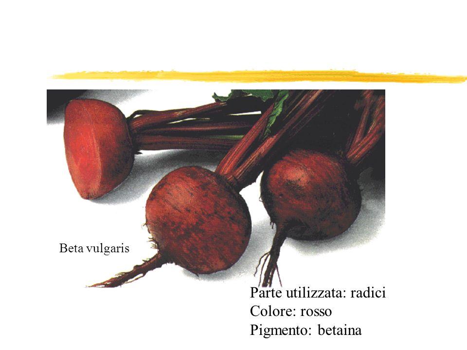 Beta vulgaris Parte utilizzata: radici Colore: rosso Pigmento: betaina