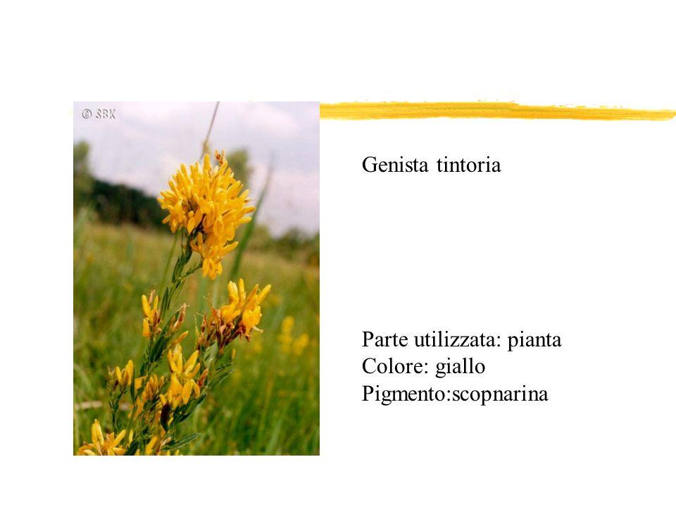 Parte utilizzata: pianta Colore: giallo Pigmento:scopnarina Genista tintoria