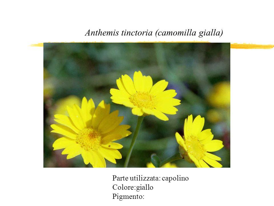 Parte utilizzata: capolino Colore:giallo Pigmento: Anthemis tinctoria (camomilla gialla)
