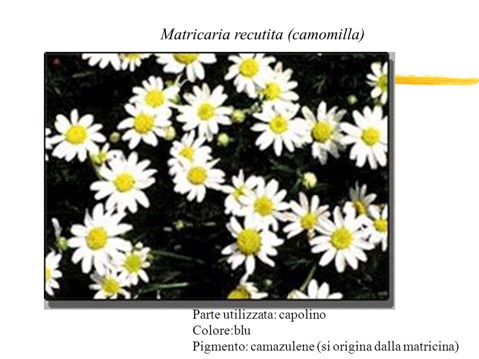 Matricaria recutita (camomilla) Parte utilizzata: capolino Colore:blu Pigmento: camazulene (si origina dalla matricina)
