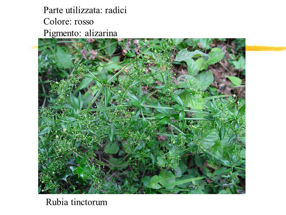 Rubia tinctorum Parte utilizzata: radici Colore: rosso Pigmento: alizarina