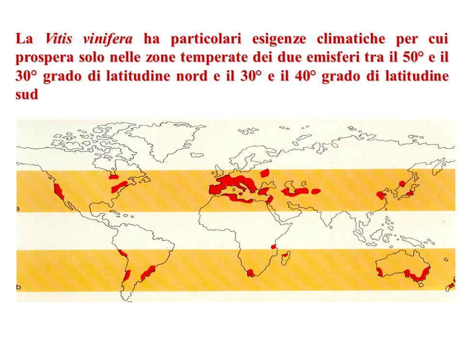 La Vitis vinifera ha particolari esigenze climatiche per cui prospera solo nelle zone temperate dei due emisferi tra il 50° e il 30° grado di latitudi