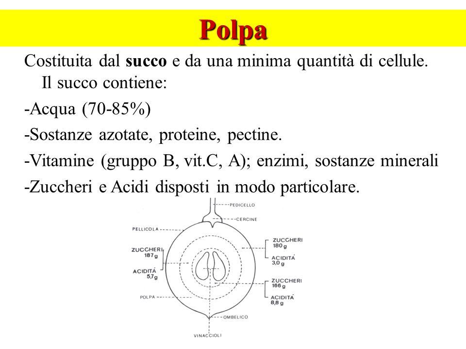 Polpa Costituita dal succo e da una minima quantità di cellule. Il succo contiene: -Acqua (70-85%) -Sostanze azotate, proteine, pectine. -Vitamine (gr