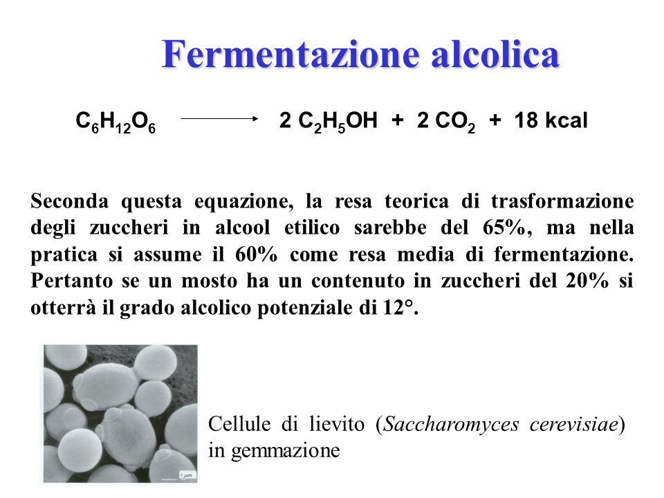 Cellule di lievito (Saccharomyces cerevisiae) in gemmazione C 6 H 12 O 6 2 C 2 H 5 OH + 2 CO 2 + 18 kcal Seconda questa equazione, la resa teorica di